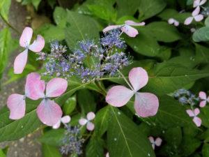 雨の庭をしっとり彩るヤマアジサイ