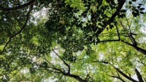 綾城の空いっぱいに広がるエノキの葉