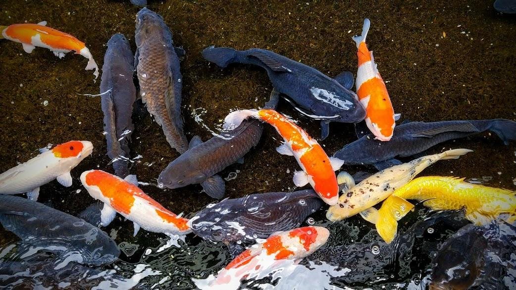 酒泉の杜を囲む堀を泳ぐ鯉