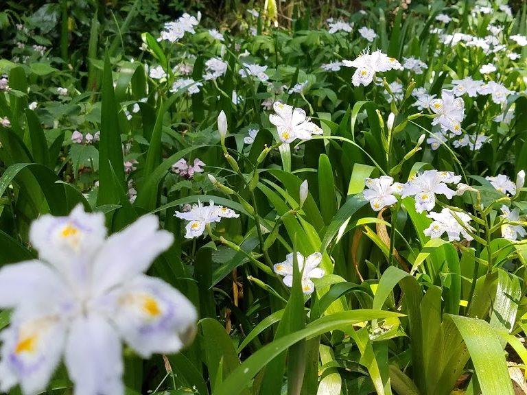 白川吉見神社をくぐった先にはシャガが咲き乱れていた